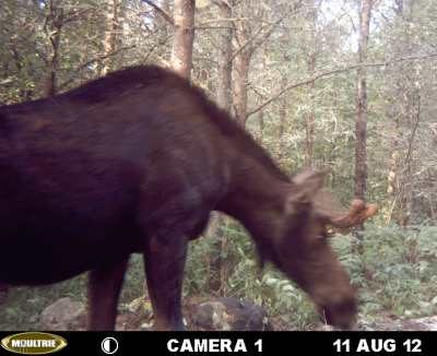 Moose on game cam 2012